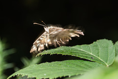 Speckled Wood Blur (Mark Wasteney) Tags: happywingwednesday hww butterfly flight blur motionblur