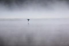 Saphir éthéré (Fabien Serres) Tags: alcedoatthis alcédinidés commonkingfisher coraciiformes martinpêcheurdeurope oiseau bird