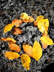 Circle of Autumn (Baubec Izzet) Tags: baubecizzet nature autumn leaves