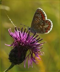 Brown Argus - nectaring on knapweed II (glostopcat) Tags: brownargusbutterfly butterfly insect invertebrate macro glos wildflower knapweed august summer butterflyconservation prestburyhillnaturereserve