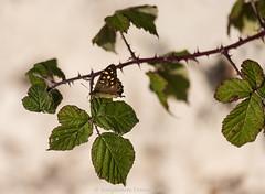 Speckled wood - Pararge aegeria (frattonparker) Tags: btonner bokeh butterfly depthoffield farfalle isleofwight lightroom6 mariposa nikkor105mmafsmicrof28ged nikond810 papilon prime raw schmetterling frattonparker chalkdownland