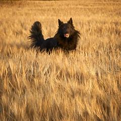 Totoro (Jos Mecklenfeld) Tags: totoro dutchshepherd dutchshepherddog holländischerschäferhund hollandseherder hollandseherdershond shepherd shepherddog schäferhund herder herdershond dog hund hond playing spelen barley gerste gerst sonya6000 sonyilce6000 sony30mmf35macro sel30m35 terapel groningen netherlands nl