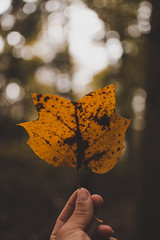 Poplar (SaltyDogPhoto) Tags: fallcolors fallfoliage fall autumn autumncolors leaves leaf color closeup bokeh depthoffield 35mm 18 f18 nikon nikkor photography photooftheday nature pov pennsylvania seasons