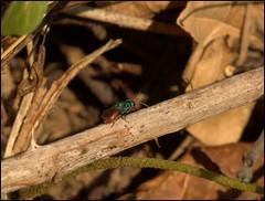 Ruby-tailed wasp (catb -) Tags: france saintgeniès rubytailedwasp wasp insect macro dordogne cuckoowasp