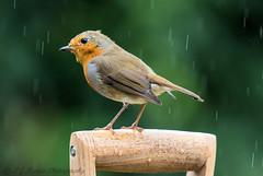 Juvenile Robin in the rain D7200 (ian._harris) Tags: bird colours d7200 flickr garden juvenile life naturaleza natural nature naturephotography nikon robin sigma september wildlife animals