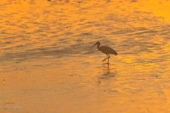 Morning Stroll (dngovoni) Tags: action background bird hiltonhead ibis pinckney southcarolina summer sunrise water wildlife hiltonheadisland unitedstates us