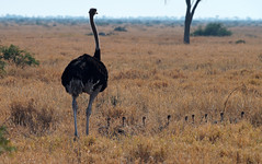 Mababe Depression Ostrich with chicks (mstoecklin) Tags: mababe depression ostrich with chicks