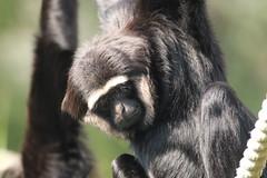 Agile Gibbon (charliejb) Tags: 2018 bristolzoogardens bristol bristolzoo wildlife agilegibbon gibbon mammal fur furry furred