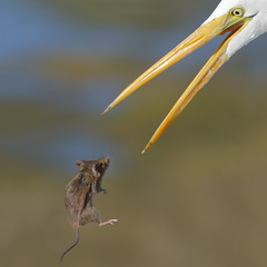 Hope! (bmse) Tags: great egret rodent mouse bolsa chica wetlands canon 7d2 400mm f56 l wingsinmotion bmse salah baazi
