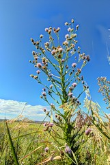 wright's marsh thistle (JoelDeluxe) Tags: blue creek cienega cityofsantarosa nm newmexico guadalupecounty marsh thistle pecos sunflower spring seep marshes runs creeks calciumrich waters wrightsmarshthistle pecossunflower joeldeluxe