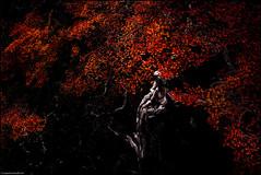 In Mourning (niggyl (well behind)) Tags: dryad dryads fagus autumn mountfieldnationalpark nationalpark mtfield tarnshelf dolerite glaciallake glacialvalley glacier pleistoceneiceage pleistocene tasmania fujifilmxt2 fujixt2 xt2 luminar2018 lake landscape sky clouds mountains deciduousbeech jurassicdolerite mackenzietarn fujinon fujinonxf1428r xf1428r fujixf1428r xf1428 nothofagusgunnii treeroots