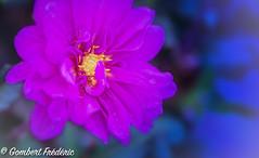 Sweet tears of Autumn (frederic.gombert) Tags: flower flowers light pink color colors blue sun garden plant bloom blossom autumn summer macro nikon