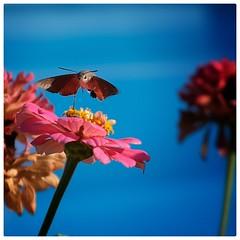 Samos 010 🇬🇷 (The Game 71) Tags: samos grecia grrece isola island falena insetto fiore flower