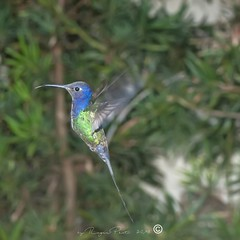 _DSC0321 (Roger Hummingbirds) Tags: animal nature bird birds colibri wildlife hummingbird wings flight feeder flower nectar south america rain forest color colorful colour fly flying spread blue green delicate flora floral beauty inflight ornithology wild brazil beijaflor tesourinha kolibrie feathers outdoor verde azul natureza do sul vôo voando delicado flores