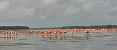 Mexico - Celestun - flamingos (Harshil.Shah) Tags: bird flamingo flamingos celestun yucatan mexico mexicano biosphere reserve parque natural del flamenco wildlife nature pink water reflection naturaleza