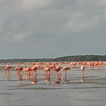 Mexico - Celestun - flamingos thumbnail