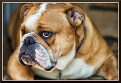 BiancaTheBullDog_2026 (bjarne.winkler) Tags: bad attitude is like flat tier if you have one getting anywhere