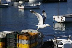 Måse (dese) Tags: måse laridae gull seagull sea harbour hamn fugl morning morgon july24 2018 july242018 2018 komiža vis europa adriahavet adriaticsea adriatic july juli summer sommar ferie croatia kroatia europe dalmatia coast