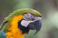 Manu the Macaw. (LisaDiazPhotos) Tags: manu macaw frequent flyer bird show lisadiazphotos sdzsafaripark sdzoo sdzsp sandiegozoo sandiegozooglobal sandiegozoosafaripark