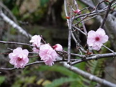 First signs of spring (boeckli (On Vacation)) Tags: flower blossom macro tree pink blüten blumen pflanzen baum rosa blooms blossoms flowers outdoor blume blüte garten garden plant plants rx100m6 001467 spring frühling frühjahr