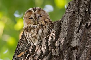 Tawny Owl - Waldkauz
