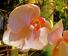 Spots!! (Cornishcarolin. Stupid busy!! xx) Tags: cornwall httpswwwedenprojectcom nature flowers plants orchids