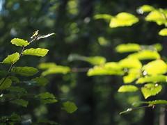 Beech Tree Wood Leaf Leaves Nature Forest Wood © Buche Baum Blatt Laub Natur (hn.) Tags: badtölzwolfratshausen baum bavaria bayern beech beechtree blatt blätter buche buchenblatt copyright copyrighted deutschland eu europa europe forest germany green grün heiconeumeyer isarwinkel landkreisbadtölzwolfratshausen laub leaf leafs oberbayern oberland sachsenkam tree tölzerland upperbavaria wald wood
