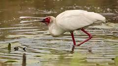 Spoonbill has a meal (Nagarjun) Tags: africanspoonbill bird avifauna birdlife lake wildlife nairobinationalpark kenya plataleaalba