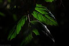 Rough-leaved Elm (dustaway) Tags: aphananthephilippinensis roughleavedelm australianrainforestplants australianflora australianplants rprr rotaryparkrainforestreserve lismore nature northernrivers nsw australia arfp qrfp nswrfp dryarf subtropicalarf cannabaceae tropicalarf greyhandlewood leaves axehandlewood cyrfp ulmaceae