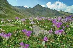 Mountain  flowers (meren34) Tags: plateau rize turkey flowers crocus country mountain spring nature pasture grassland white green purple