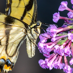 "Eastern Tiger Swallowtail Butterfly (PMillera4) Tags: closeup macro swallowtail butterfly easterntigerswallowtailbutterfly ""easterntigerswallowtailbutterfly"""