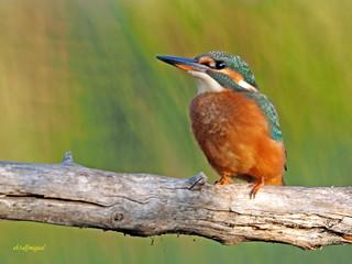 Martín pescador común (Alcedo atthis) (2)