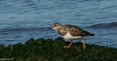 Tournepierre à collier (wpierre48) Tags: oiseaux rosslare tournepierreàcollier