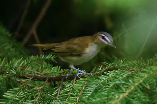 Red-eyed-Vireo-47w