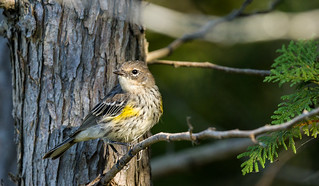 0P7A3207  Yellow-rumped or myrtle Warbler