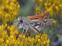 Common Branded Skipper (Ron Wolf) Tags: commonbrandedskipper greatbasin greatbasinnationalpark hesperiacomma hesperiidae lepidoptera nationalpark butterfly insect montane nature wildlife nevada