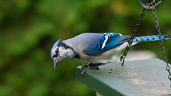Geai bleu - Blue jay, P.Q., Canada - 7058 (rivai56) Tags: saintgeorges quebec canada ca geaibleu pq oiseau bird bleu blue jay