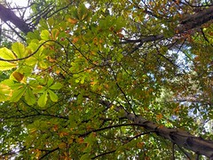 horse chestnut (ankihg) Tags: aesculushippocastanum aesculus fall lincolnpark