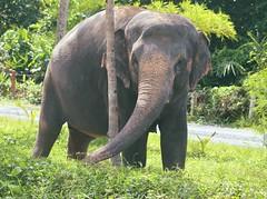 Asian Elephant (Elephas maximus) (Urban and Nature OZ) Tags: elephant asianelephant elephants asian thailand asiatic phuket animal elephasmaximus asiaticelephant animals tree sanctuary elephantsanctuary wildlife nature beautifulelephants