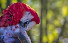 Pretty Bird (Southern Darlin') Tags: parrot macaw scarlet bird beak feathers nature naturephotography wild wildlife bokeh green red blue closeup photography photo nautre canon