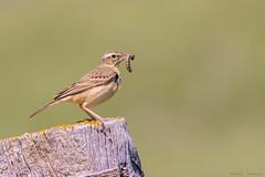 La pobre oruguita (sergio estevez) Tags: aves pajaros oruga verde posadero bokeh color fauna insecto kenko15x luz nikonafs300mmf4 sombra