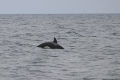 Offshore Orca (Zach Hawn) Tags: westport washington boat pelagic birding wildlife science sea ocean pacificocean washingtoncoast naturenerd naturalist westportseabirds pelagicbirding bird nature pacificnorthwest pnw wander continentalshelf