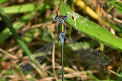 Emerald Damselfly (m) (Mike Slade.) Tags: emeralddamselfly lestessponsa insect stovercountrypark newtonabbot devon england sigma105mmmacro ©mikeslade