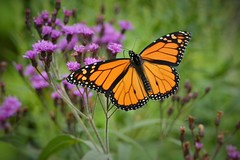 Monarch male by Jackie B. Elmore 8-22-2018 Lincoln Co. KY (jackiebelmore) Tags: danausplexippus monarch butterfly ironweed lincolnco kentucky nikon7100 tamronsp150600f563 jackiebelmore