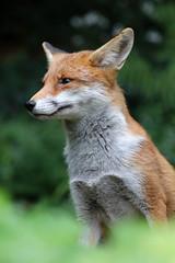 sweetest garden friend (Sue Elderberry) Tags: fox redfox vixen urbanfox urbanwildlife urbannature animal grass garden rotfuchs