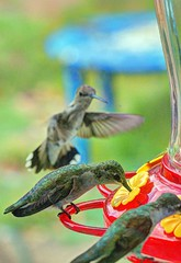 hummingbirds (JoelDeluxe) Tags: southvalley newmexico nm joeldeluxe hummingbirds feeder