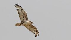 Ferruginous Hawk (Bill G Moore) Tags: ferriginoushawk raptor wild wildlife nature soaring feathers sky laramie wyoming canon