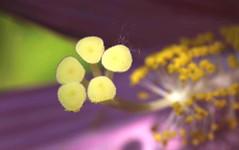 Immersione (lincerosso) Tags: intimearchitetturevegetali architetturefloreali ibiscopalustre hybiscuspalustris pistillo colori estate dimensionealtra giardino bellezza armonia