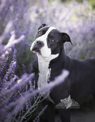 Lavender (lexlikelily) Tags: dog purple color flowers mixed breed bullbreed