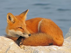 Study In Red (marylee.agnew) Tags: red fox canine water wildlife nature color outdoor beauty sun resting